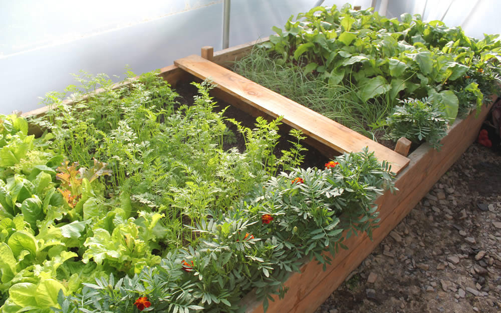 Homegrown produce in the polytunnel
